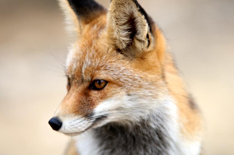 Bund Kritisiert Fuchsjagd