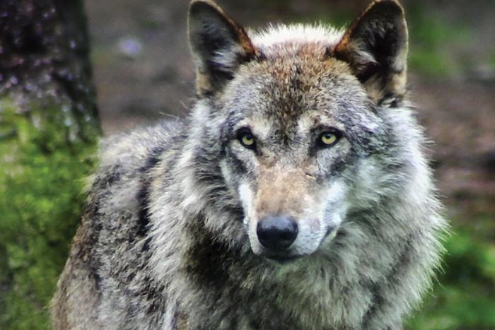 Der wolf in nrw - Mobel bald olpe offnungszeiten ...